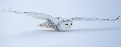 Πετώντας χιονόγλαυκα στοκ φωτογραφίες