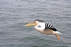 πετώντας ωκεανός πέρα από pelikan Στοκ εικόνες με δικαίωμα ελεύθερης χρήσης