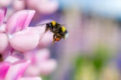 Πετώντας bumblebee Στοκ Εικόνες