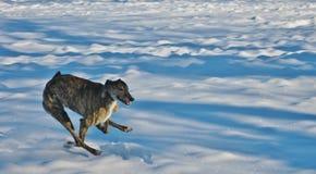 Πετώντας greyhound Στοκ Εικόνα