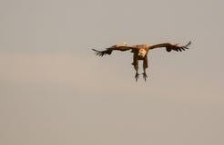Πετώντας griffon γύπας στοκ εικόνα