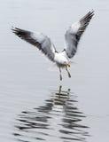 Πετώντας kelp γλάρος που προσγειώνεται στην Αργεντινή, Νότια Αμερική Στοκ Φωτογραφίες