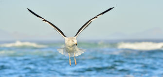 Πετώντας Kelp γλάρος & x28 Larus dominicanus& x29 , επίσης γνωστός ως Δομίνικα στοκ φωτογραφία