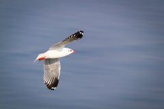Πετώντας seagull με το υπόβαθρο της μπλε θάλασσας Στοκ Εικόνα