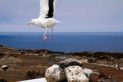 Πετώντας seagull με το ωκεάνιο υπόβαθρο Στοκ φωτογραφία με δικαίωμα ελεύθερης χρήσης