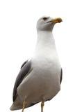 Πετώντας seagull που απομονώνεται στο λευκό Στοκ Εικόνες