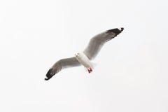 Πετώντας seagull στην άσπρη ανασκόπηση στοκ φωτογραφία