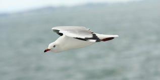Πετώντας seagull στον ουρανό. Στοκ Εικόνες