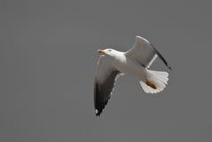 πετώντας seagull Στοκ Φωτογραφίες