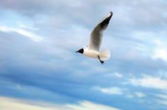 πετώντας seagull Στοκ εικόνες με δικαίωμα ελεύθερης χρήσης