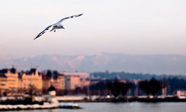 πετώντας seagull Στοκ Φωτογραφία