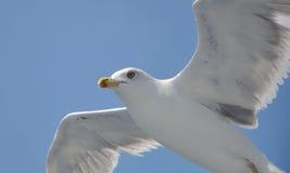 Πετώντας seagull Στοκ εικόνα με δικαίωμα ελεύθερης χρήσης