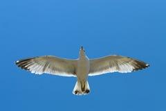 Πετώντας seagull Στοκ φωτογραφίες με δικαίωμα ελεύθερης χρήσης