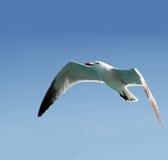 πετώντας seagull Στοκ Εικόνες