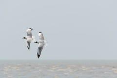 πετώντας seagulls δύο Στοκ Φωτογραφίες