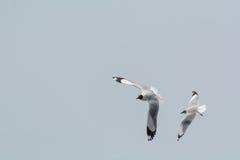 πετώντας seagulls δύο στοκ φωτογραφία με δικαίωμα ελεύθερης χρήσης