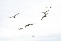 Πετώντας Seagulls Στοκ Φωτογραφίες