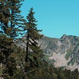 Πεύκα βουνών στα Πυρηναία Στοκ Εικόνες
