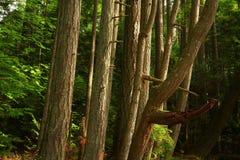 Πεύκα δασών και ακτών Pacific Northwest στοκ εικόνες με δικαίωμα ελεύθερης χρήσης