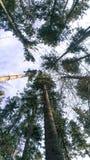 πεύκα ψηλά στοκ εικόνα με δικαίωμα ελεύθερης χρήσης