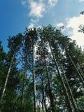 πεύκα ψηλά Στοκ Φωτογραφία
