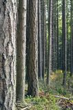 πεύκα Στοκ εικόνα με δικαίωμα ελεύθερης χρήσης
