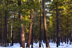 Πεύκα Ponderosa το χειμώνα στοκ φωτογραφία