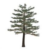 Πεύκο δέντρων που απομονώνεται. Πεύκο Στοκ Φωτογραφία