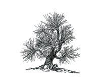 Πεύκο-δέντρο μπονσάι Ελάχιστα παρόν Στοκ Φωτογραφίες