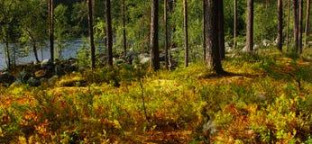 Πεύκο δασική Καρελία Στοκ φωτογραφία με δικαίωμα ελεύθερης χρήσης