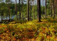 Πεύκο δασική Καρελία Στοκ Εικόνες