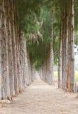 πεύκο διαβάσεων στη σήραγγα δέντρων Στοκ Φωτογραφία