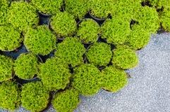 Πεύκο εγκαταστάσεων στα σε δοχείο, πράσινα σπορόφυτα arborvitae Στοκ φωτογραφίες με δικαίωμα ελεύθερης χρήσης