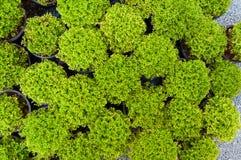Πεύκο εγκαταστάσεων στα σε δοχείο, πράσινα σπορόφυτα arborvitae Στοκ φωτογραφία με δικαίωμα ελεύθερης χρήσης