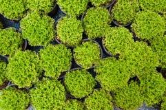 Πεύκο εγκαταστάσεων στα σε δοχείο, πράσινα σπορόφυτα arborvitae Στοκ Εικόνες