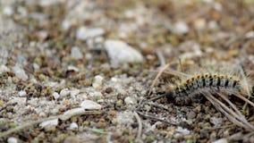 Πεύκο λιτανευτικό (είδη: Thaumetopoea pityocampa) Ένα από τα είδη πανουκλών πιό καταστρεπτικά στα πεύκα και τους κέδρους φιλμ μικρού μήκους