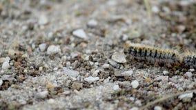 Πεύκο λιτανευτικό (είδη: Thaumetopoea pityocampa) Ένα από τα είδη πανουκλών πιό καταστρεπτικά στα πεύκα και τους κέδρους απόθεμα βίντεο