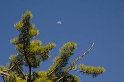 Πεύκο και φεγγάρι Κανάριων νησιών Στοκ Εικόνες