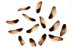 πεύκο καρυδιών Στοκ Φωτογραφία