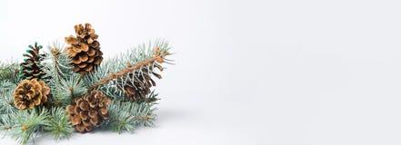 πεύκο κώνων κλάδων Στοκ εικόνα με δικαίωμα ελεύθερης χρήσης