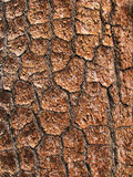 πεύκο λεπτομέρειας φλοιών Στοκ εικόνα με δικαίωμα ελεύθερης χρήσης