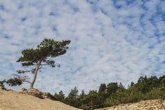 Πεύκο μακριά Στοκ εικόνα με δικαίωμα ελεύθερης χρήσης