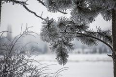 πεύκο μεγάλων κλώνων Στοκ φωτογραφίες με δικαίωμα ελεύθερης χρήσης