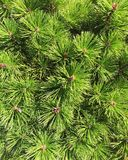 Πεύκο πράσινο Στοκ εικόνες με δικαίωμα ελεύθερης χρήσης