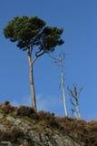 πεύκο σκωτσέζικα Στοκ εικόνες με δικαίωμα ελεύθερης χρήσης