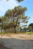 Πεύκο στην παραλία στοκ εικόνες με δικαίωμα ελεύθερης χρήσης