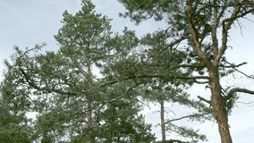 Πεύκο στο δάσος φιλμ μικρού μήκους