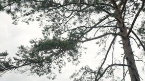 Πεύκο στο δάσος απόθεμα βίντεο