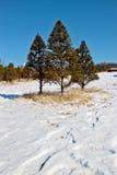 Πεύκο στο χειμερινό χιόνι Στοκ Φωτογραφίες