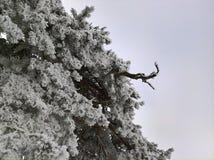 Πεύκο στο χιόνι και τον ουρανό Στοκ Εικόνες